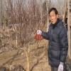 供应红枫树|红枫树价格