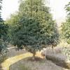供应桂花树|桂花树价格