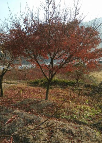 红枫树嫁接技术图解