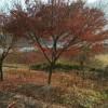 红枫树价格