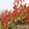 红叶石楠|红叶石楠价格