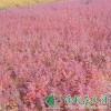供应红叶小檗|红叶小檗价格