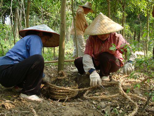 带土球起苗     多数常绿阔叶树和少数落叶阔叶树及针叶大树,其根系