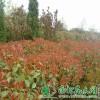 红叶石楠小苗 红叶石楠价格