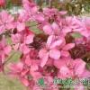 北美海棠小苗|北美海棠价格