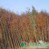 供应水杉|水杉价格