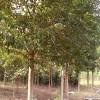 供应香樟树|香樟树价格