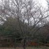 供应鸡爪槭|鸡爪槭