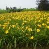 供应宿根花卉