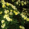 供应黄刺梅|黄刺梅价格