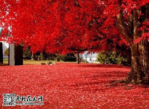 红枫树图片及相关资料介绍