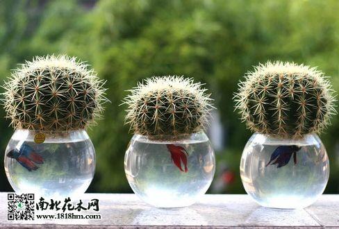 仙人球水培技术