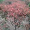 苗圃红叶石楠推荐价格;南京红叶石楠基地。