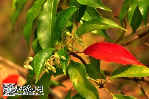 杜英的特点:杜英属于常绿乔木,秋冬至早春部分树叶转