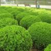 常年供应小叶黄杨球|小叶黄杨分栽苗|小叶黄杨毛球