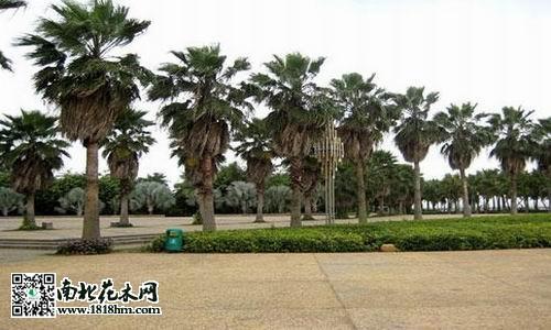 棕榈在环境中的作用