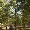 银杏苗圃长年供应各种规格银杏树,随挖随走、包办手续