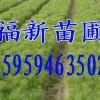 湿地松苗,木荷苗,红豆杉苗,香樟苗,无患子苗,罗汉松苗