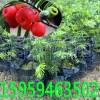 红豆杉苗,罗汉松苗,竹柏苗,桂花苗,桤木苗,湿地松苗
