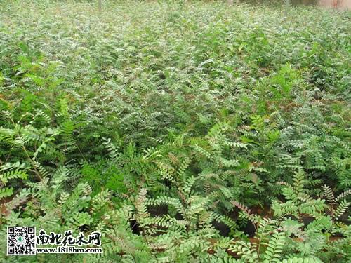清香木是什么|清香木的繁殖方法