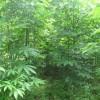 河南七叶树|七叶树供应