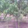 北栾苗 五角枫苗 2-5cm山桃 红叶碧桃 枣树苗
