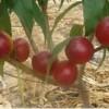 油桃苗,126油桃苗,12-33油桃苗,中油4号芽变