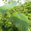 中国特有青檀树