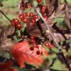 金色雨点海棠苗,皇家雨点海棠苗,红宝石海棠苗