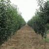 长期大量供应各类规格八棱海棠树