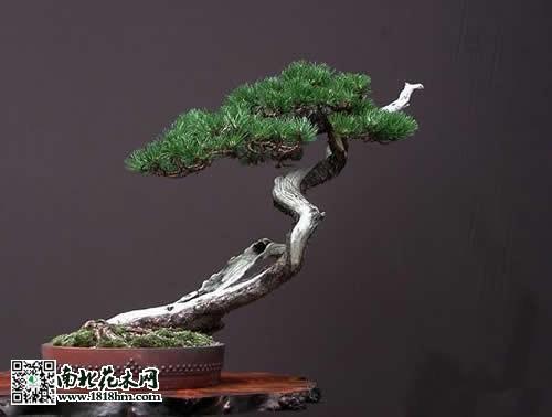 松树盆景的制作方法及技巧