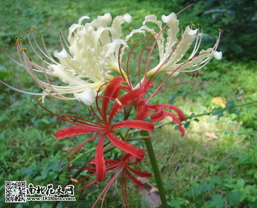 彼岸花图片  彼岸花还有白色的品种