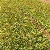 专业种植湖南桂花树 浏阳桂花树存活率高-宏景特价苗