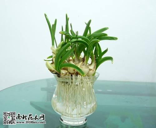 水仙花水培养殖的几点注意事项