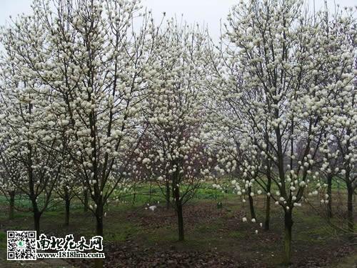 白玉兰花的特点:花顶生