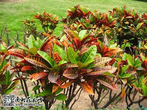 变叶木生长习性及栽培养护知识