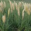 蒲苇急售|蒲苇优质苗供应