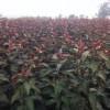 供应海棠苗,嫁接的海棠苗,海棠树