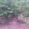 山桃毛桃各种桃树成品苗齐全