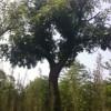 供应 精 品苗木