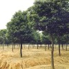 香樟|香樟树苗供应