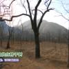 10公分柿子树多少钱一棵?保定柿子沟大量供应