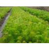江西湿地松,江西桂花芽苗,江西杜英芽苗便宜,四川红豆杉规格