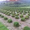 天堂草坪,黑麦草混播草坪,马尼拉草坪电13775528172