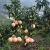 ★|平和三红蜜柚苗|★