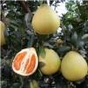 ★|平和黄肉蜜柚苗|★