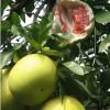 ★|平和红肉蜜柚苗|★