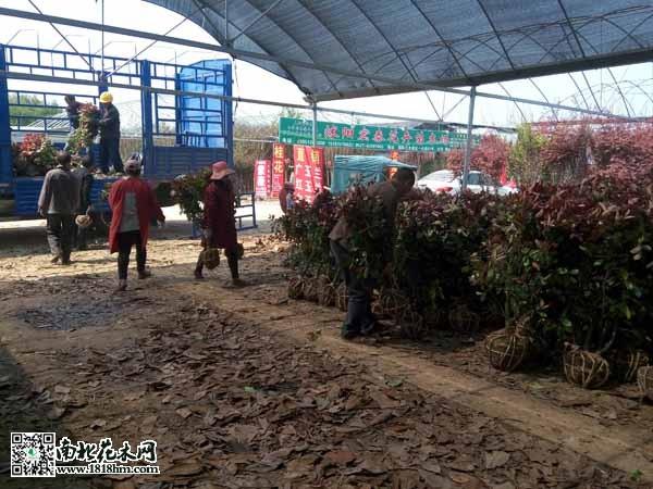工人们正在卸载红叶石兰-沭阳国际花木城 今年花木销量稳中有升