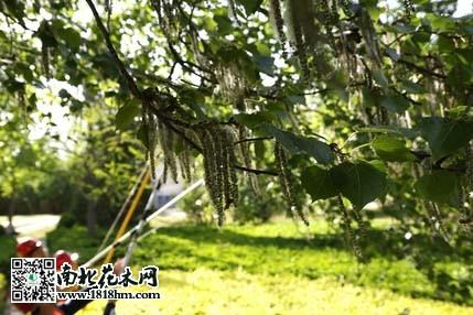 北京:新栽雌性杨柳树搬家了