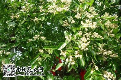 一般情况下红豆树都长在两广